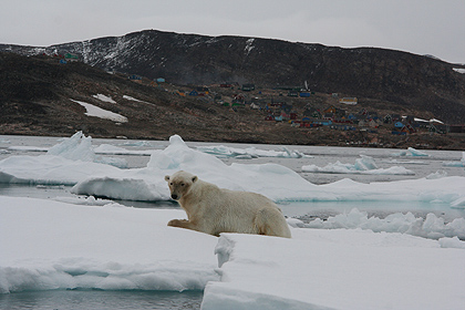 Polar bear in front of Ittoqqortoormiit, image by Nanu Travel