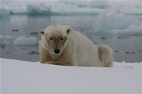 Polar bear , image by Nanu Travel ApS
