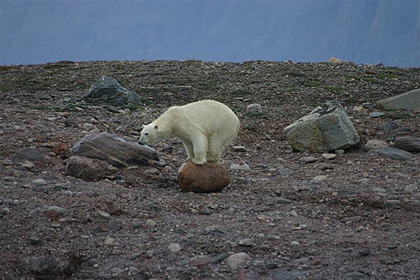 Polar bear , image by Per Jessen