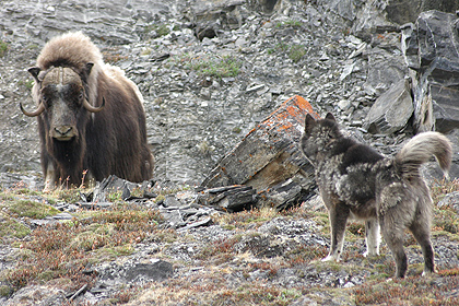 Musk ox and sledddog , image by Per Jessen