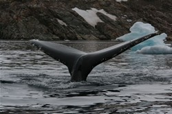 Humpbackwhale in Rosenvinges bugt , image by Nanu Travel