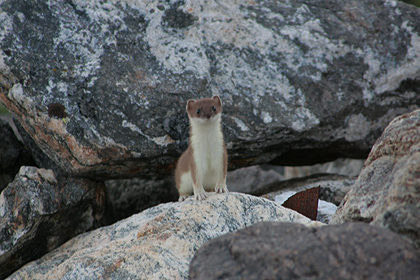 Stoat , image by Nanu Travel