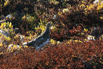 Ptarmigan , image by Nanu Travel