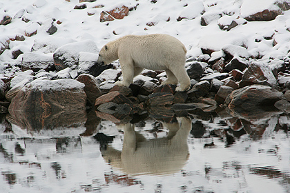 Polar bear , Amdrup havn  , image by Nanu Travel