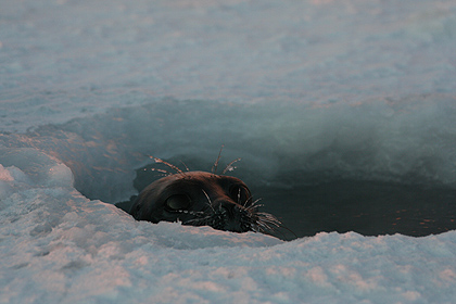 Seal in hole , image by Nanu Travel