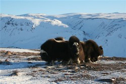 Musk oxen at Dom Brava , image by Nanu Travel