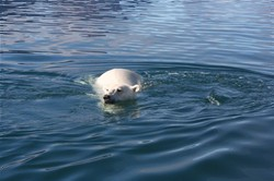 Swimming polarbear , image by Nanu Travel ApS