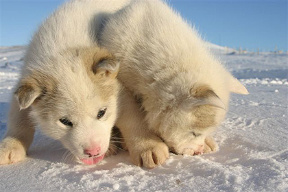 east Greenland puppies , image by Per Jessen