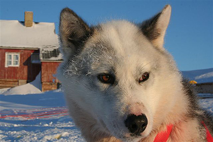 Sleddog, image by Nanu Travel