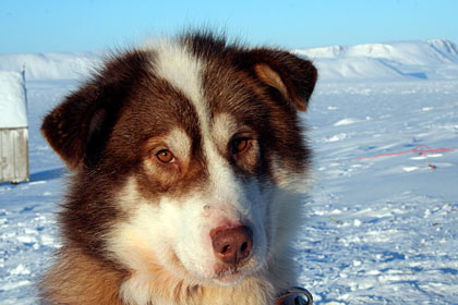 est Greenland sleddog , image by Nanu Travel